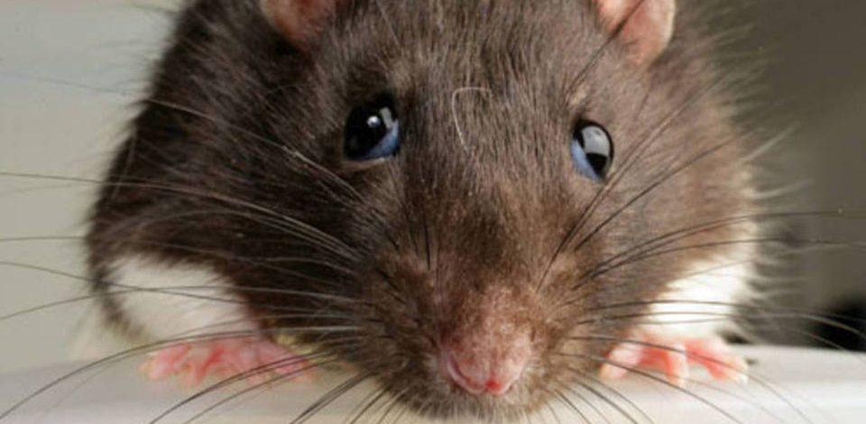 Série: Tudo sobre Ratos – Parte 1