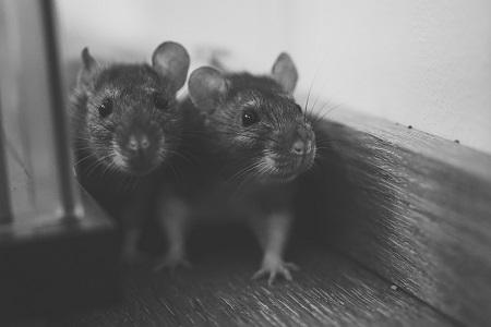 Métodos Químicos e Letais de Combate Aos Ratos – Tudo Sobre Ratos Parte 8