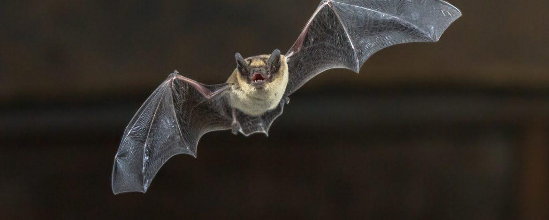 Morcegos – Um propagador de Vírus