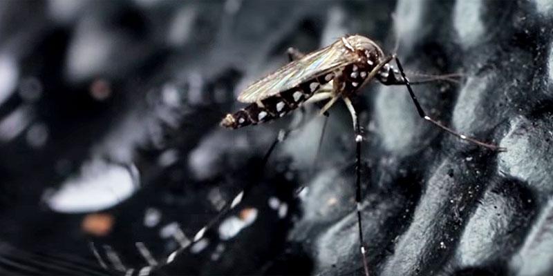 Filme sobre Aedes aegypti revela detalhes inéditos deste nosso inimigo