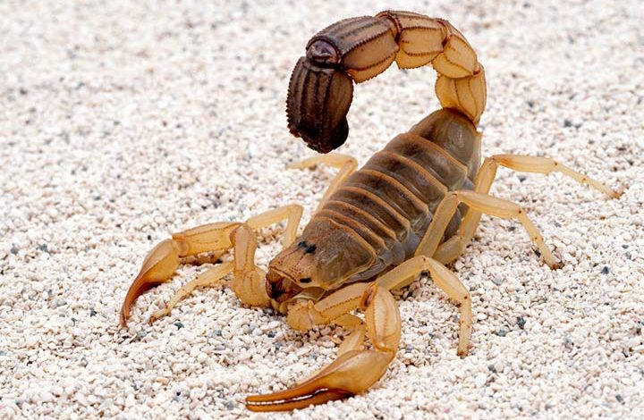 Bebê de 1 ano e 8 meses morre após ser picado por escorpião