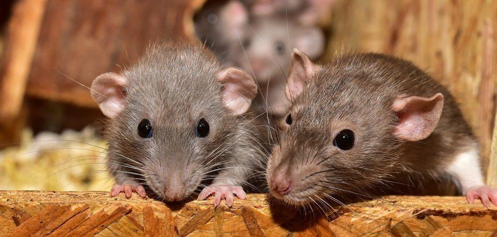Isolamento social pode aumentar a presença de roedores e infecções em áreas residenciais